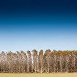 Trunks birch trees Royalty Free Stock Photo