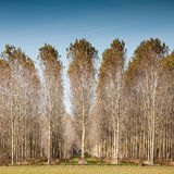 Trunks birch trees Royalty Free Stock Images