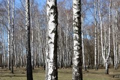 Birch trees in forest Royalty Free Stock Image