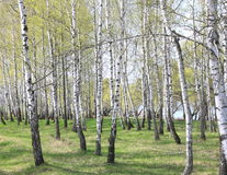 Trunks of birch trees in forest Royalty Free Stock Photography