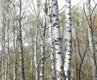 Trunks of birch trees in forest Stock Photography