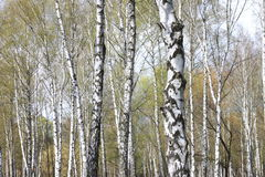 Trunks of birch trees in forest Stock Images