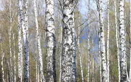 Trunks of birch trees in forest Stock Photos