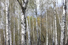 Trunks of birch trees in forest Royalty Free Stock Image
