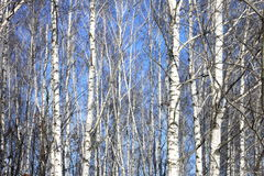 Trunks of birch trees in forest Royalty Free Stock Photo