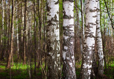Trunks of birch trees in the northern forest Stock Image