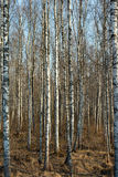 Trunks of birch trees Royalty Free Stock Photos
