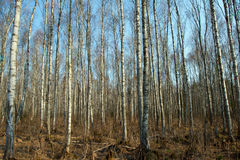 Trunks of birch trees and roots Royalty Free Stock Images