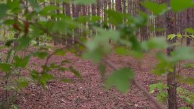 Trunks of birch trees in spring day as a background. HD stock footage