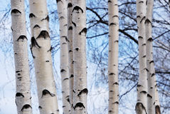 Trunks of birch trees in spring forest Stock Photo