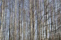Trunks of birch trees in spring forest Stock Image