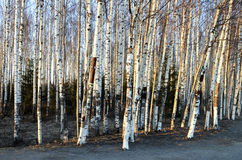 Trunks of birch trees in spring Stock Photography