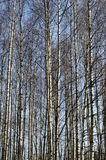 Trunks of birch trees in spring grove Royalty Free Stock Photo