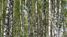 Trunks of birch trees in summertime stock video