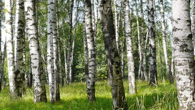 Trunks of birch trees in summertime stock video footage