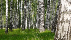 Trunks of birch trees in summertime stock footage