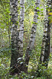 Trunks of birch trees Stock Images