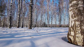 Trunks of birch trees in wintertime stock video