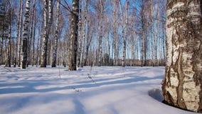 Trunks of birch trees in wintertime. Slider shot of trunks of birch trees in winter forest stock video