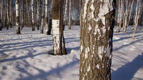 Trunks of birch trees in wintertime. Slider shot of trunks of birch trees in winter forestn stock video footage