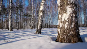 Trunks of birch trees in wintertime stock footage
