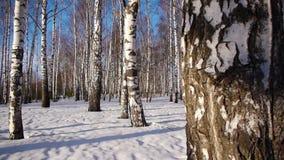 Trunks of birch trees in wintertime. Slider shot of trunks of birch trees in winter forestn stock video
