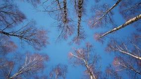 Trunks of birch trees in wintertime. Slider shot of trunks of birch trees in winter forestn stock footage