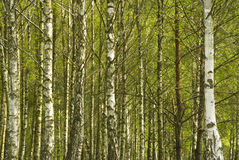 Trunks of birches. White and black trunks of birch trees with a young, bright-green leaves in a birch grove stock image