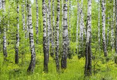Trunks of birches Stock Photo