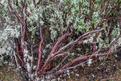 Trunks and branches of Black steppe, Mountain steppe, Jara. Cistus laurifolius. Royalty Free Stock Image