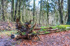 Trunks and branches covered with mushrooms and mosses in the Groenendaalse bos. Fallen tree  with thick fluted trunk in a forest is to digest slowly to food for Royalty Free Stock Photos