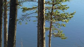 The trunks and branches of pine trees against the bright blue water of the lake. stock video footage
