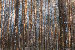 Trunks And Branches Of Pine Trees Covered With Frost And Snow. Winter Royalty Free Stock Images
