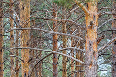 Trunks and branches of wild pine. Pinus sylvestris. Sierra de la Cabrera, Leon, Spain. Stock Image