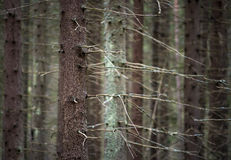 Trunks of conifer trees Stock Photo