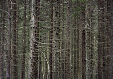 Trunks of conifer trees Royalty Free Stock Photography