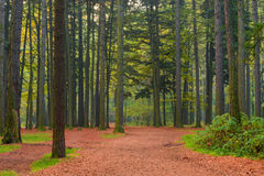 Trunks of coniferous trees in the forest, shooting in the mornin Stock Photography