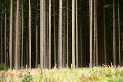Trunks of conifers Royalty Free Stock Photography