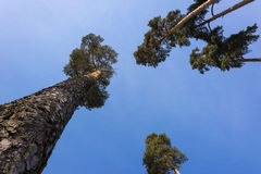 Trunks and crowns of pine trees. Slender and mighty pine trunks shoot up Royalty Free Stock Photos