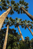 The trunks and crowns of trees on a background of blue sky. Stock Photo