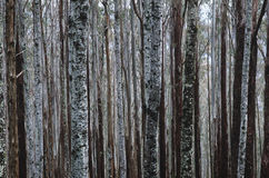 Trunks of Eucalypt Mountain Ash trees Stock Photo