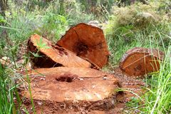 Trunks of the giant red Tingle, Western Australia Stock Photo