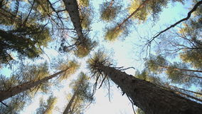 Trunks of high pine trees. Stretching up into the sky camera rotates stock footage
