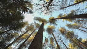 Trunks of high pine trees. Stretching up into the sky camera rotates stock video