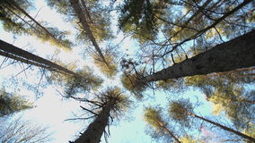 Trunks of high pine trees stock footage