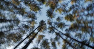 Trunks of high pine trees, stretching up into the sky camera rotates. Trunks of high pine trees, stretching up into the sky, camera fast rotates stock footage
