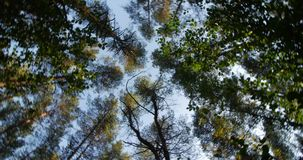 Trunks of high pine trees, stretching up into the sky camera rotates. Trunks of high pine trees, stretching up into the sky, camera fast rotates stock video footage