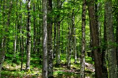 The trunks of large beech trees in the forest, in the national natural park in the mountains of Montenegro stock photo