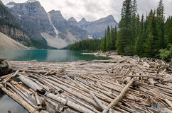 Trunks on Moraine Lake. In Canada Stock Photography