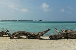 Trunks of old tropical trees lie picturesquely on the white sand. Maldives - November, 2017: close-up: trunks of old tropical trees lie on white sand, against Stock Photo